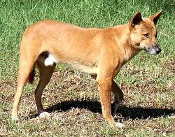 Dingo Side.JPG