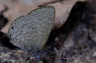 <i>Petrelaea dana</i> Species of butterfly