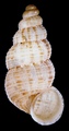 Diplopoma sp shell from Dominica.png