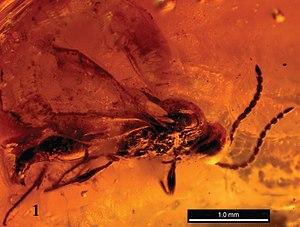 Rovno amber - Extinct wasp Disogmus rasnitsyni