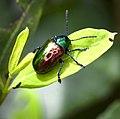 Dog bane beetle (Chrysochus auratus).jpg