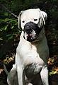 Dog with muzzle J1.jpg