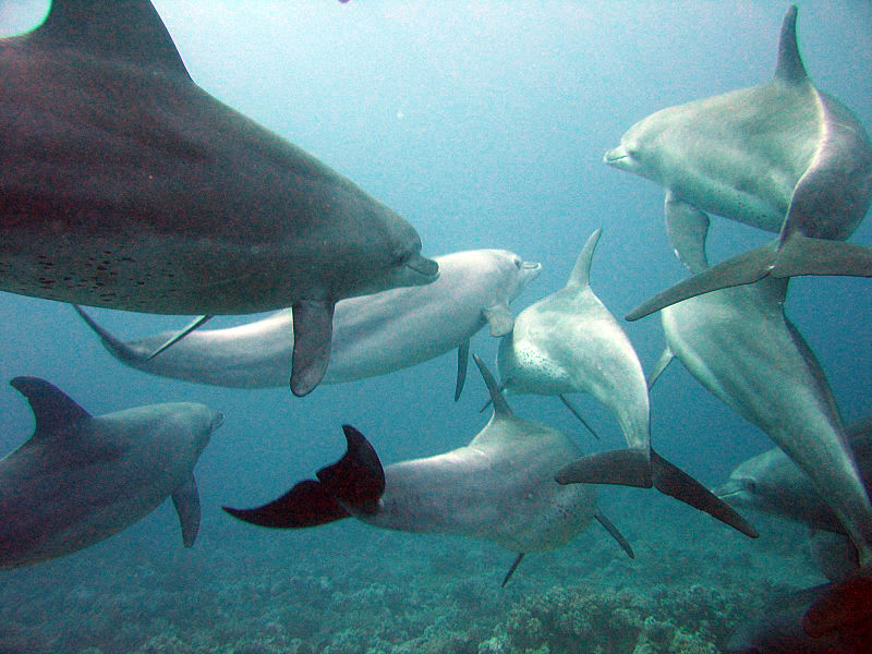 File:Dolphins gesture language.jpg