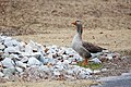 Domestic goose (25929584568).jpg