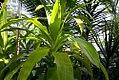 Dracaena fragrans Limelight 0zz.jpg