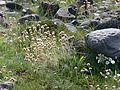 Dritvík - Vegetation 1.jpg