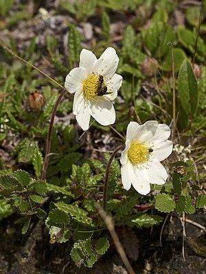 Dryas octopetala - Image: Dryas octopetala LC0327