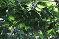 Drypetes longifolia-3.JPG