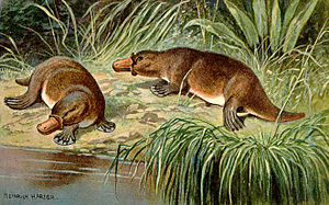 Duck Billed Platypus Schnabeltier