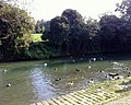 Ducks on the Ouse - geograph.org.uk - 981638.jpg