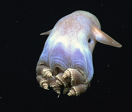A finned Grimpoteuthis species with its atypical octopus body plan. Dumbo-hires (cropped).jpg