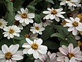 Dwarf Zinnia from Lalbagh flower show Aug 2013 8234.JPG