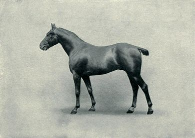 EB1911 Horse - polo pony stallion.jpg