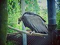 Eagle in Nandankanan Zoological Park Bhubaneswar, Odisha, India.jpg
