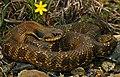 Eastern Hognose Snake (Heterodon platyrhinos) - Flickr - 2ndPeter.jpg