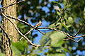 Eastern Wood PeWee Flycatcher (7548120528).jpg