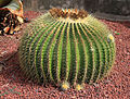 Echinocactus grusonii, Sydney, Australia.jpg