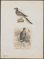 Ectopistes migratorius - 1700-1880 - Print - Iconographia Zoologica - Special Collections University of Amsterdam - UBA01 IZ15600347.tif
