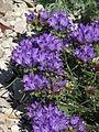 Edraianthus graminifolius 03.JPG
