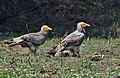 Egyptian Vulture (Neophron percnopterus) at Bharatpur I IMG 5366.jpg