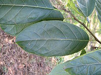 Ehretia acuminata3