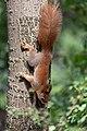 Eichhörnchen (Sciurus vulgaris) Konstantinhügel Wiener Prater 2020-07-12 e.jpg