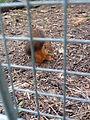 Eichhörnchen hinter Gittern.JPG