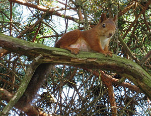 Ratatoskr - A red squirrel in an evergreen tree in Norway