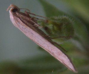 Elachista rufocinerea - Image: Elachista rufocinerea
