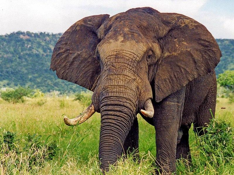elefant wiki