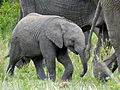 Elephant (Loxodonta africana) baby (11550246166).jpg