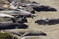 Elephant seals, Piedras Blancas 04.jpg