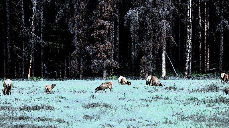 File:Elk in a Field (4846568849).jpg