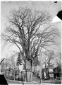 Elm tree by Dr. Walmsley's house, Picton (I0013162).tif
