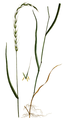 Hunds-Quecke (Elymus caninus), Illustration