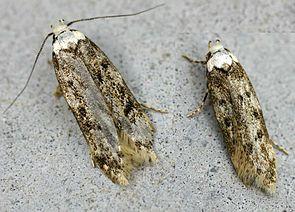 Kleistermotte (Endrosis sarcitrella)