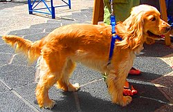 English Cocker Spaniel golden.jpg
