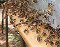 Entrée de ruche.JPG