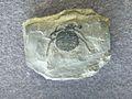 Eophrynus udus.jpg