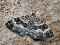 Epirrhoe alternata - White-banded toothed carpet - Ларенция белополосая (43741485942).jpg