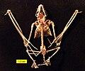 Eptesicus fuscus skeleton frontal.jpg