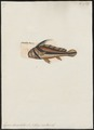 Eques lanceolatus - 1700-1880 - Print - Iconographia Zoologica - Special Collections University of Amsterdam - UBA01 IZ13400097.tif