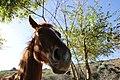 Equus ferus caballus (07).jpg