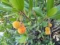 Erdbeerbaum, Sithonia.jpg