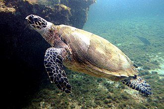 Marine reptile - Sea turtle.