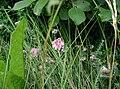Erica-tetralix-blomst.JPG