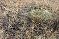 Eriogonum corymbosum kz07.jpg