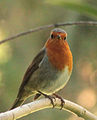Erithacus rubecula (Madrid, Spain) 05.jpg