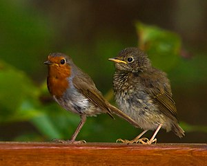 European robin - Adult and juvenile of the Gran Canaria robin