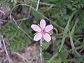 Erodium cicutarium-3-06-05.jpg